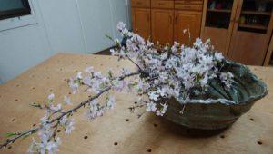 桜の花、満開